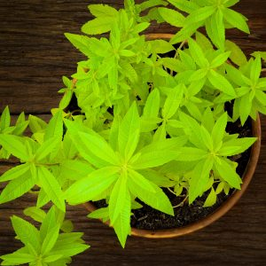 What is Lemon Verbena Used For?: Growing Conditions