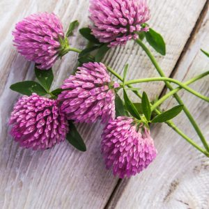 What is Red Clover Good For?: Other Uses
