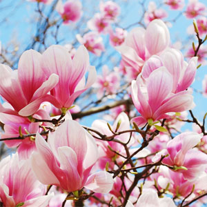 20 Floral Scents for Spring - Magnolia in Bloom Fragrance Oil