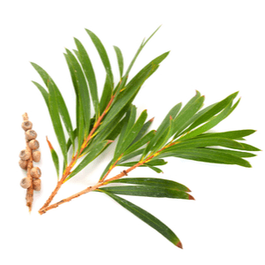 Other Uses for Tea Tree Essential Oil