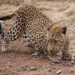 Leopard Ngepi camp on the Okavango