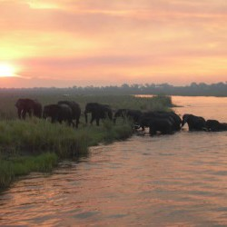 Elephants crossing 2