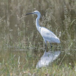 Little Egret(JB Burger)