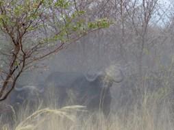 Bulls in the dust