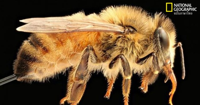 ผึ้งน้ำหวาน