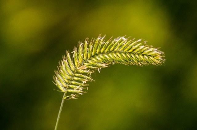 เมล็ดพืช, การงอกของเมล็ด, เมล็ดหญ้า, การสืบพันะุ์ของพืชดอก