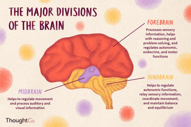 สมอง, ระบบประสาทส่วนกลาง, CNS, ระบบประสาท