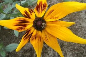 A bee in the pollinator garden