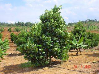 tưới nhỏ giọt cho cây mít