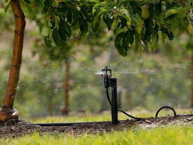 tưới phun mưa cục bộ cho cây mắc ca