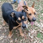 Adopt Charles and Wesley - Black Mouth Cur and Rottie mix, Austin, TX