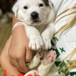 Adopt Logan - Plott hound/St. Bernard mix puppy