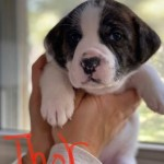 Adopt Thor : Plott hound / St. Bernard mix puppy | New Hope Animal Rescue, Austin, TX