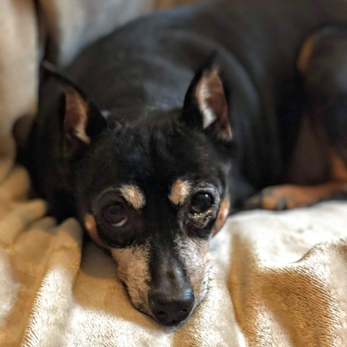 Adopt Winnie - Min Pinscher Mix - New Hope Animal Rescue - Austin TX