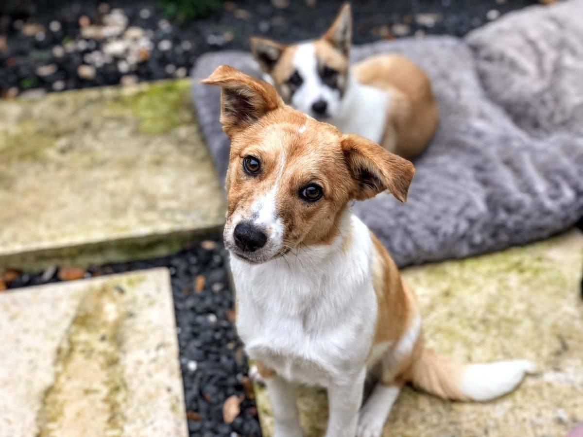 Anna 6mo puppy, Aussie / Terrier, 22 lbs