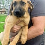 Bridgett - Female Black Mouth Cur Puppy
