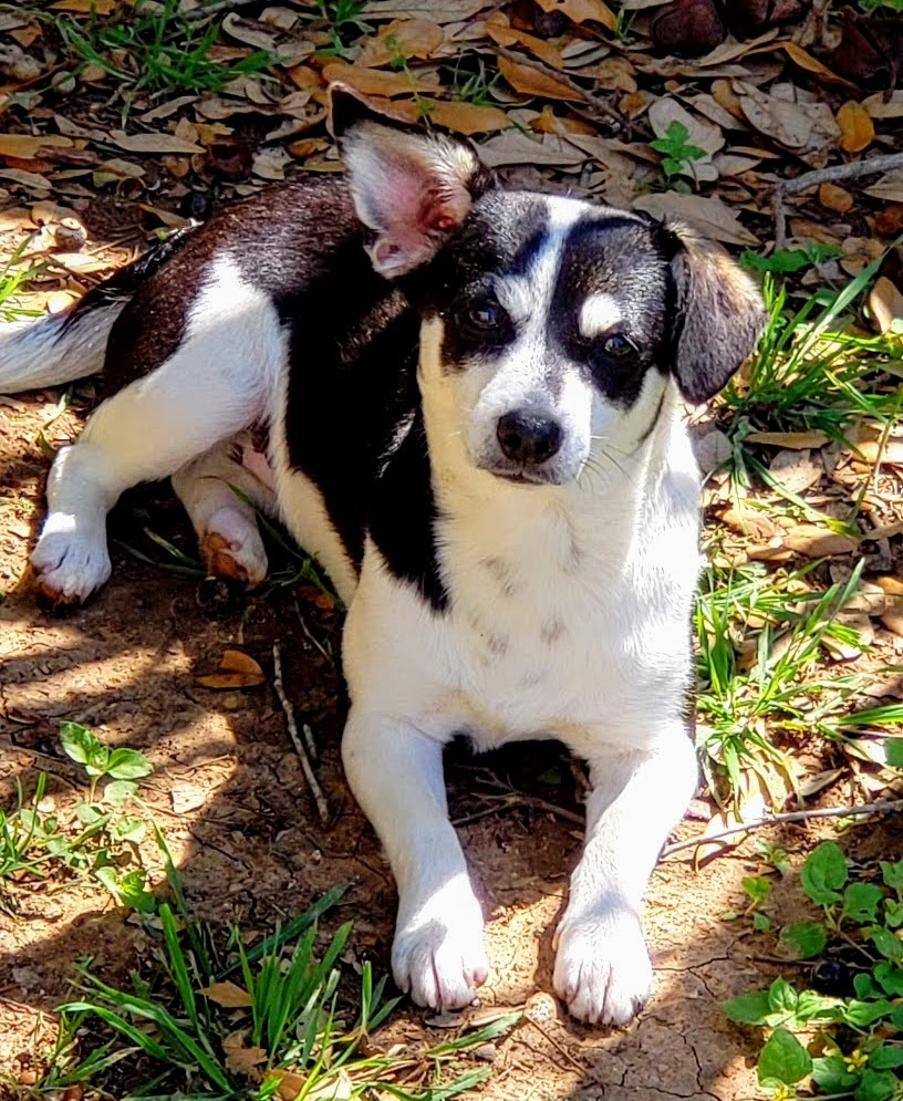 Layza - Female Terrier/Dachshund 2yo 12lbs