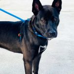 Bane - Belgian Malinois Mix