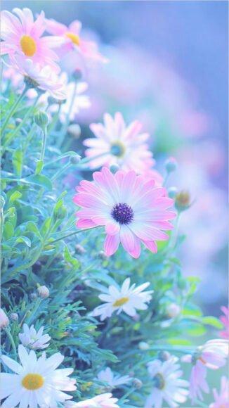 Hình nền hoa cúc đẹp dịu dàng