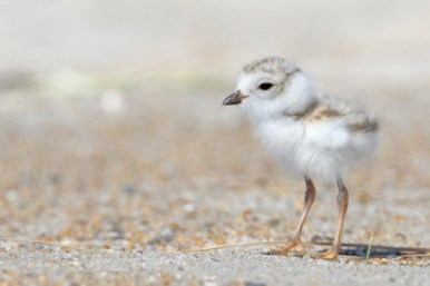 plover-chick