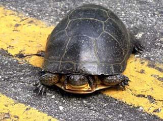 turtles-blandings-marchand6