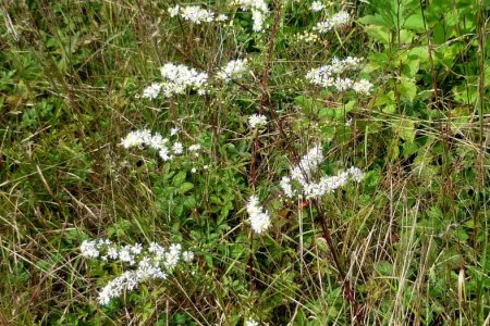 Weed with little white flowers flower shop near me flower shop little white flower growing in my lawn what is it weed with a little white flower amerigreen lawncare white flowers develop into triangular seed pods mightylinksfo