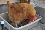 Rô Ti the Hen