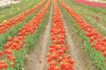 tulip uat kim huong (04)