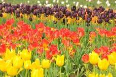 tulip uat kim huong (15)
