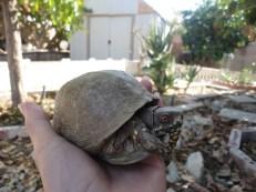 Tài (Land Turtle)
