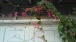 hoa tigon (11)
