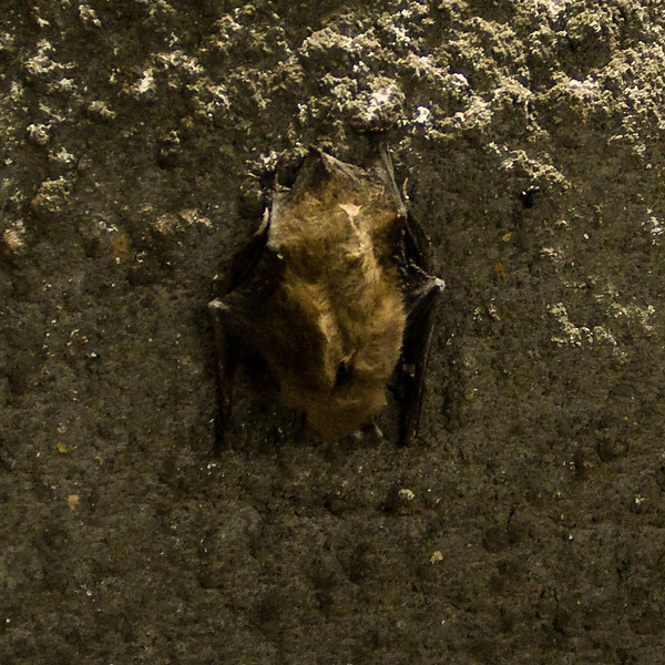 A bat detected on Soudan's wall.