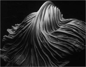 edward-weston-cabbage-leaf-1931-gelatin-silver-print196872-flickr-photo-sharing-1378216957_org