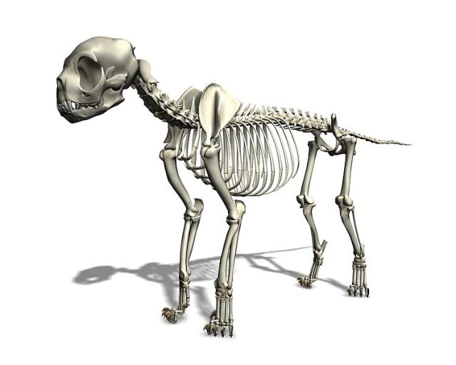 Cat skeleton, Wikipedia