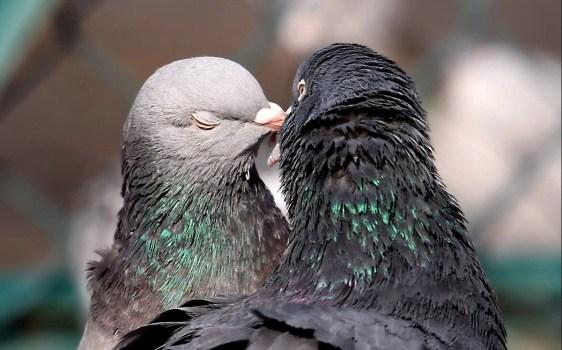 Pigeon Breeds - NiceFarming com