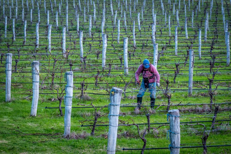 Vine pruning at Robert Oatley