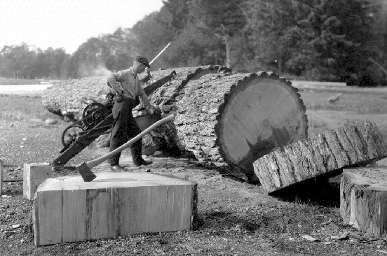 Cutting up a Douglas-fir at Comox, 1925. Source: BC Archives, I-51808.