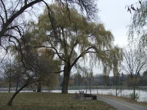 Central Experimental Farm Arboretum, Ottawa, Willow at Dows Lake - P Anderson November 2013