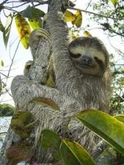 Sloth-Bradypus