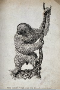 A three-toed sloth or ai (Bradypus tridactylus). Etching by J(?) L., 1825. Image Credit: Wellcome Library, London.