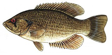 Rock Bass. Source: Wikimedia Commons