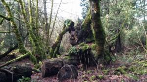 """Stumps,"" Galiano Island. Photo: Cate Sandilands."