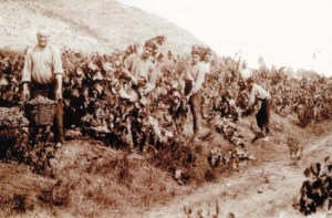 Grape harvesting in the Vallès County (Catalonia) in the beginning of the twentieth century. Photo credit: F. Casañas/Arxiu Històric de Sabadell