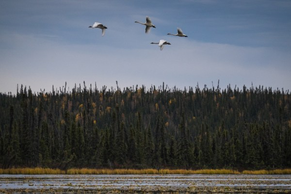 4 swans flying in formation above a marshland and trees.