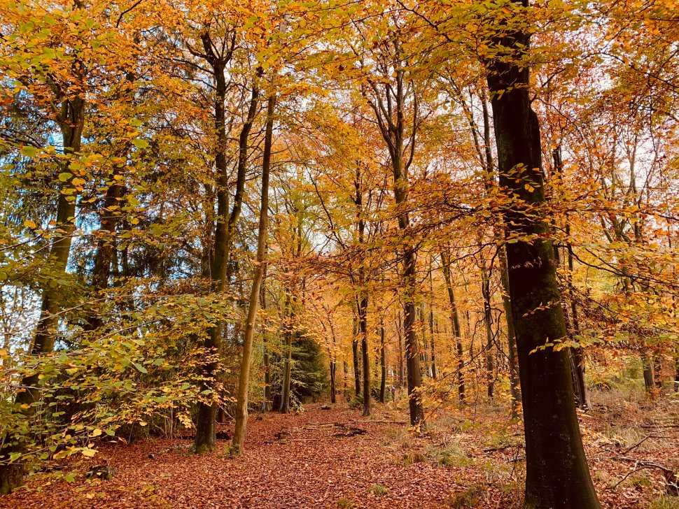 Trees in autumn, with golden leaves and a carpet of leaves on the forest floor.
