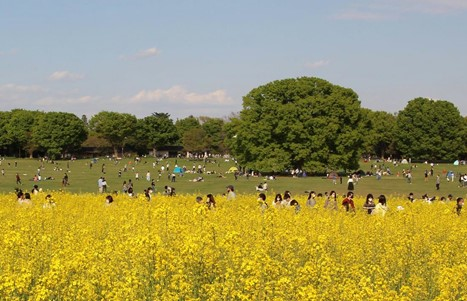 A park in Japan. In the foreground is a field of yellow flowers. In the background is a greenspace filled with people, trees, and grass.