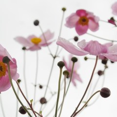 Light and dark pink flowers outdoors