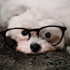 white, small, fluffy dog with black button nose and black horned rim glasses