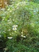 Margeriten vor der kleinen Weide