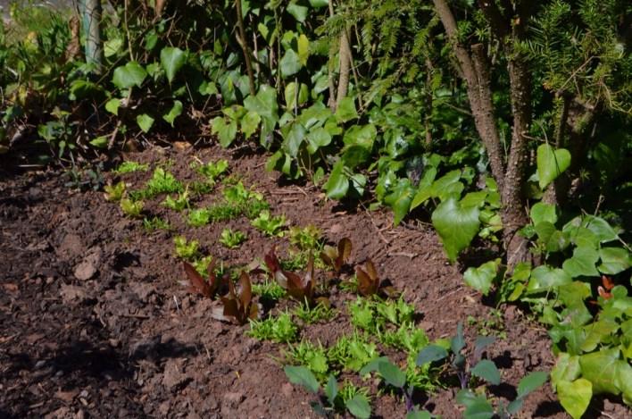 Die Salatpflanzen
